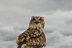 Beautiful and big owl. With orange eyes stock photos
