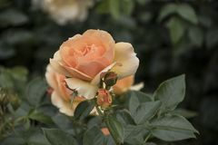 Beautiful big pale orange rose on blured background. Orange rose on the bush. Delicate rose macro.  stock photography