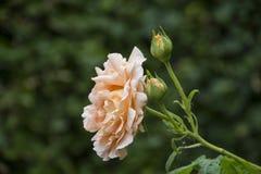 Beautiful big pale orange rose on blured background. Orange rose on the bush. Delicate rose macro.  stock image