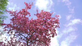 Beautiful big paradise apple-tree with pink flowers  on sky background 4k stock video footage