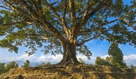 Beautiful big Pee pal tree in Tal Nepal stock photo