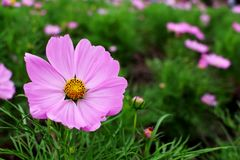 Beautiful Big Pink Colors of Cosmos Flowers Stock Photo