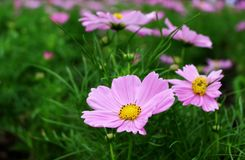 Beautiful Big Pink Colors of Cosmos Flowers in garden Royalty Free Stock Photography