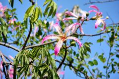 Beautiful big pink flower on a tree. In Israel Royalty Free Stock Photo