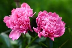 Beautiful big pink peonies stock photography
