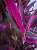 Beautiful big pink and purple leaves. A close up photo of beautiful big pink and purple leaves royalty free stock photos