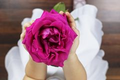 Beautiful big pink rose in a girls hands stock photography