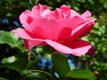 A beautiful big pink rose in the summer garden. A beautiful big pink rose in the garden. Lonely and stately. Bright and elegance. At the green background with royalty free stock images