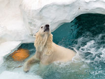 Beautiful big polar bear Royalty Free Stock Image