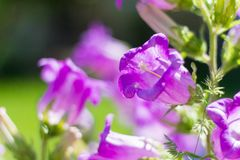 Beautiful big purple bells on green background in garden.  royalty free stock images