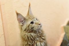 A beautiful big red cat Maine Coon. Close-up, selective focus royalty free stock photos