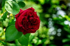 Beautiful big red purple rose in natural sunlight on dark green bokeh background. Rose with many amazing petals. Selective focus. Nature concept for design stock photography