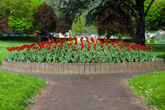 Beautiful big red tulip bed Royalty Free Stock Photos