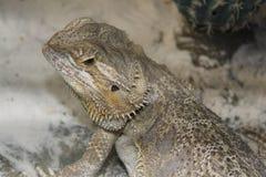 Agama bearded & x28;Pogona vitticeps& x29; stock image