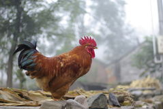 A beautiful big rooster. By pentax fa43 f1.9 chian hebei laishui country Stock Photography