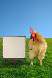 Beautiful big rooster beside the blank white board against the blue sky Royalty Free Stock Photography