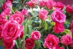 Beautiful big pink roses flower. Wedding decoration. stock photography