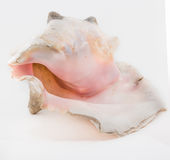 Beautiful Big sea shell on a black background Royalty Free Stock Image