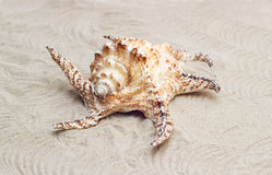 Beautiful big seashell lying on sand Royalty Free Stock Photos