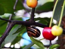 Beautiful big snail on a cherry tree. Beautiful big snail on a tree. The view of the snail and cherry. The snail with cherry royalty free stock image