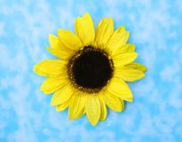 Beautiful Big Sunflower Stock Images