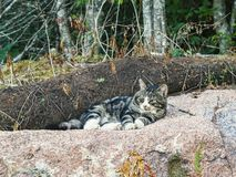 Beautiful big tabby cat lies on a huge rock and watches what is happening around royalty free stock photography