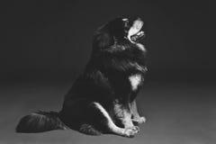 Free Beautiful Big Tibetan Mastiff Dog Stock Photography - 73498442