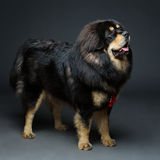 Beautiful big Tibetan mastiff dog Stock Images