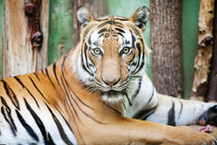 Beautiful big tiger Stock Photos