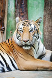 Beautiful big tiger Royalty Free Stock Photos
