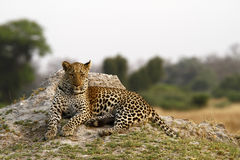 Free Beautiful Big Tom Leopard Stock Photography - 46234872
