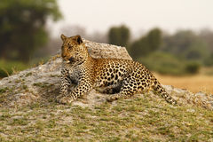 Beautiful Big Tom Leopard Stock Images