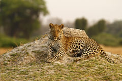 Beautiful Big Tom Leopard Royalty Free Stock Photos