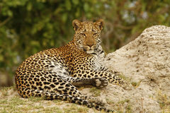 Beautiful Big Tom Leopard Stock Photo
