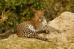 Beautiful Big Tom Leopard Stock Photography