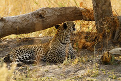 Beautiful Big Tom Leopard Royalty Free Stock Images