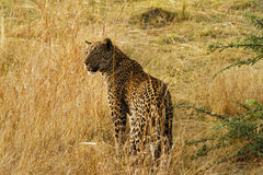 Beautiful Big Tom Leopard Royalty Free Stock Photo