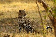 Beautiful Big Tom Leopard Stock Images