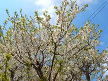 Beautiful big tree close-up with blue sky. Beautiful big tree full with white flowers and blue sky and clouds at the background. Photographed outdoors at Stock Photography