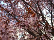 Beautiful big tree close-up with blue sky. Beautiful tree full with pink flowers with blue sky and clouds at the background. Photographed outdoors at springtime Royalty Free Stock Photo