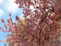 Beautiful big tree close-up with blue sky. Beautiful tree full with pink flowers with blue sky and clouds at the background. Photographed outdoors at springtime Stock Photography