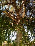 Beautiful big tree close-up, photographed on a sunny day at summer, the light is shining trough the leaves in Romania. Stock Photography