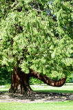 Beautiful Big tree with unusual shape Royalty Free Stock Photos