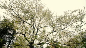 Beautiful big tree with white flowers,slow motion. Beautiful big tree with white flowers swaying in the wind, slow motion stock video