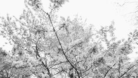 Beautiful big tree with white flowers,slow motion. Beautiful big tree with white flowers swaying in the wind, slow motion stock footage
