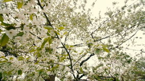 Beautiful big tree with white flowers,slow motion. Beautiful big tree with white flowers swaying in the wind, slow motion stock video footage