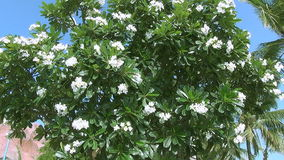 Beautiful big tree with white flowers swaying in the wind. And sky stock footage
