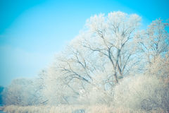 Beautiful big trees in the snow against blue sky Royalty Free Stock Images