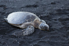 Beautiful big turtle lying on black sand Stock Images