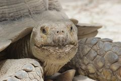 Beautiful big turtle solitaire portrait stock images